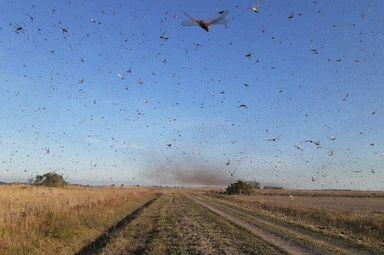 Nuvem de gafanhotos ataca lavouras na Argentina — Foto: Divulgação/Governo da Província de Córdoba