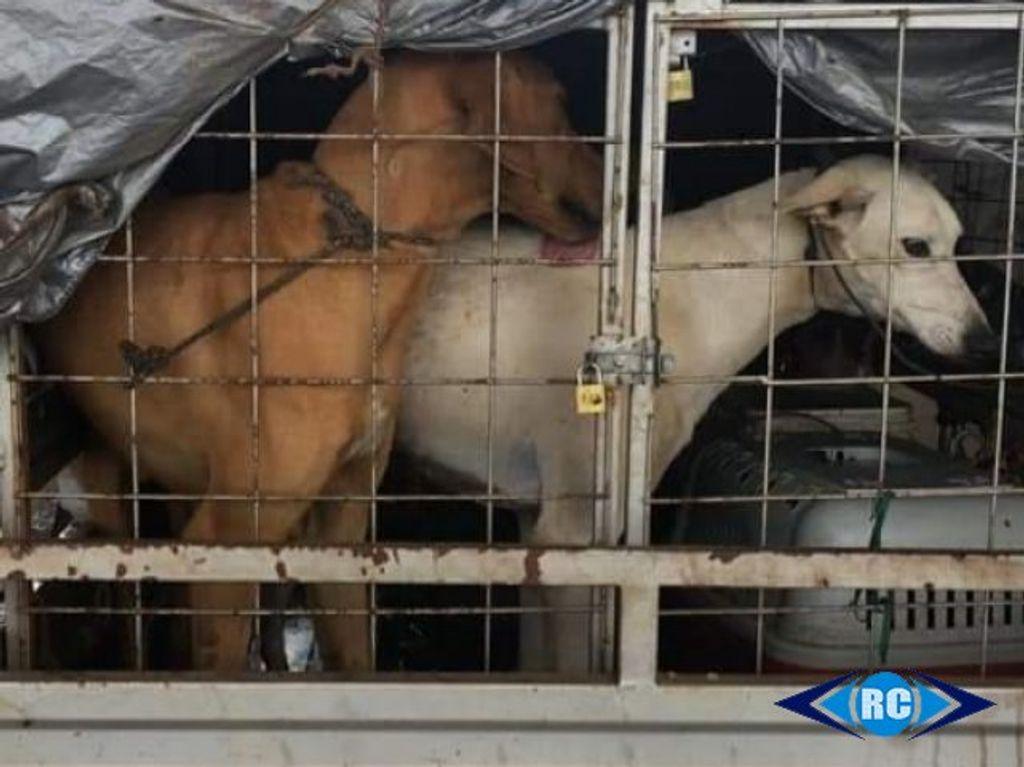 PM flagra transporte de animais em condições precárias em Capinzal