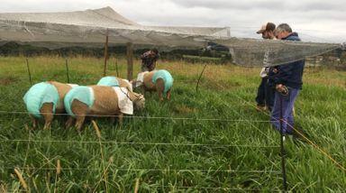 Ovelhas usam fraldas em cidade de Santa Catarina