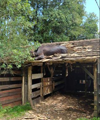 Corpo de Bombeiros é acionado para resgatar vaca que estava em telhado em SC
