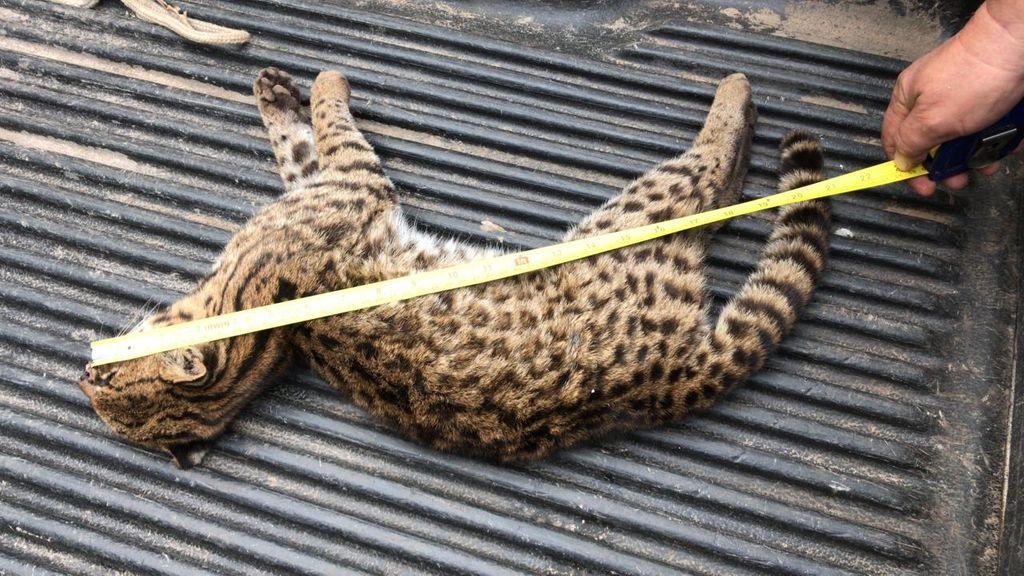 Animal mede 55 centímetros.