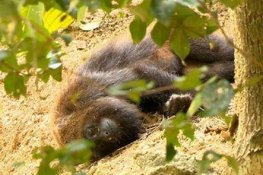 Mais de 60 macacos morreram com suspeita de febre amarela no Estado em 2020