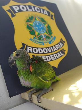 PRF flagra papagaio silvestre preso em automóvel na BR 101