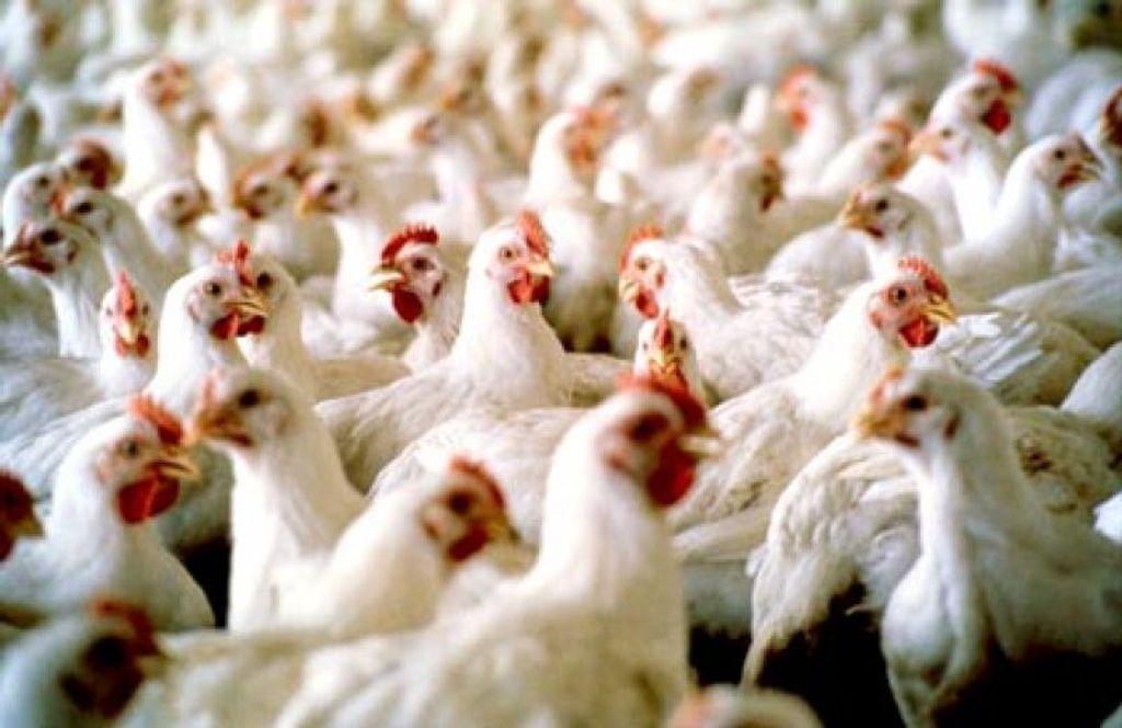 Aves que estão alojadas deverão ser abatidas em outras unidades. Foto: Divulgação
