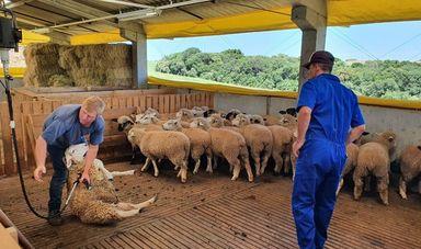 No início desse mês,ocorreu a vacinação dos ovinos e também a reprodução dos mesmos