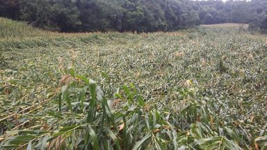 Prejuízo! Vendaval destrói lavoura de milho no interior de Joaçaba