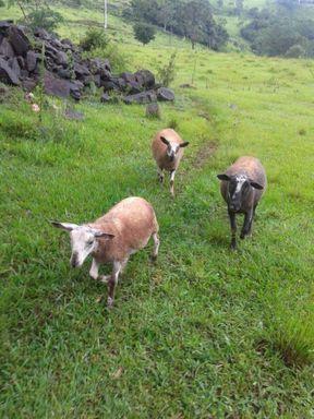 Vendo Ovelhas Santa Inês(sem lã): 3 fêmeas adultas e 4 borregas