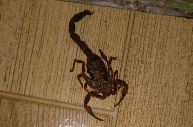 Moradora de Joaçaba encontra escorpião no banheiro de sua casa